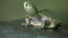 Baby turtle sunning on rock turns sideways Stock Footage