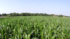 Aerial footage steady and smoothly moving over fresh green crops cornfield 4k Stock Footage