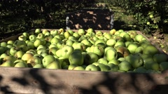 Boxes full of harvested apples in farm orchard fruit tree alley. Tilt up. 4K Stock Footage