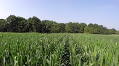 Aerial footage smoothly moving over fresh crops cornfield near tree line 4k Stock Footage