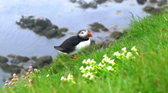 Puffin on the grassy cliff of Latrabjarg Stock Footage