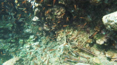 Spiny lobster underwater close up at isla espanola Stock Footage