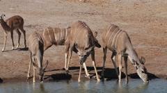 Kudu antelopes drinking water, Etosha National Park, Namibia Stock Footage