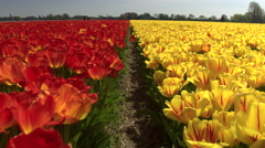 CLOSE UP: Pretty red and yellow colorful tulips separated by small walkway Stock Footage