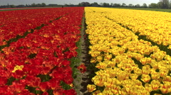 CLOSE UP: Beautiful red and yellow colorful tulips separated by small walkway Stock Footage