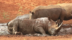 White rhinoceros wallowing in mud, South Africa Stock Footage