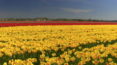 CLOSE UP: Big vast field of stunning red, yellow and pink tulips dancing in wind Stock Footage