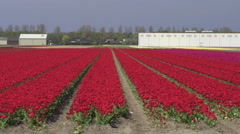 AERIAL: Flying next to lovely red blossoming tulips near farm business premises Stock Footage