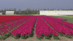 AERIAL: Beautiful red blossoming tulips near agricultural farm business premises Stock Footage