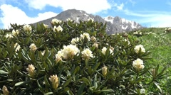 Bloom rhododendron at the foot of the mountain Oshten. Stock Footage