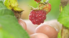 Man picking raspberry (no color grading) Stock Footage