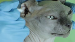 Veterinary doctor cleans the ears sphynx cat close-up - stock footage