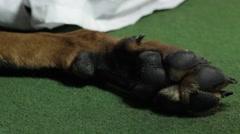 Paw Dog Doberman close up Stock Footage