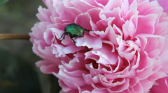 Chafer crawling on a flower the peony Stock Footage