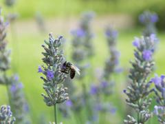 Honey bee on a lavender flower - stock photo