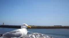 Whitby Seagull Stock Footage