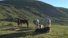 White and Brown Mountain Horses 4K Stock Footage