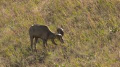 Bighorn Sheep Grazing Stock Footage