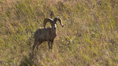 Bighorn Sheep Grazing Stock Footage