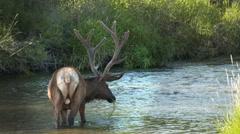 Elk Feeding Stock Footage