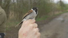 Common reed bunting (Emberiza schoeniclus) - bird ringing Stock Footage