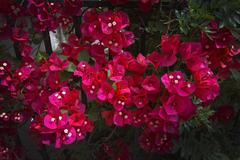 Red bougainvillea flowers Stock Photos