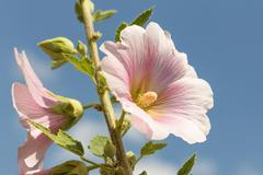 Hibiscus flower blossom closeup Stock Photos