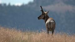Pronghorn, American Antelope Stock Footage