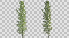 Real Aspen Poplar Tree Pre-Keyed with Alpha Transparency Stock Footage