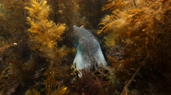 Cuttlefish in seaweed changing colour Stock Footage