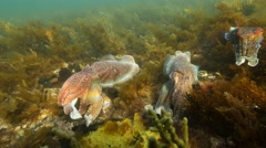 Giant Australian cuttlefish aggregation Stock Footage