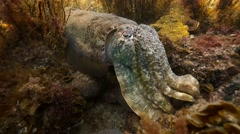 Giant Australian Cuttlefish - Sepia Apama Stock Footage
