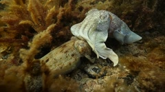 Male and Female Cuttlefish Stock Footage