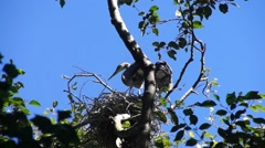 Young fledgling Great Blue Herons Stock Footage