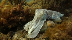 Male guards female cuttlefish Stock Footage