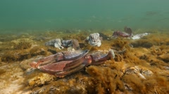 Cuttlefish aggregation with Australian salmon schooling Stock Footage
