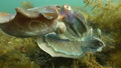 Cuttlefish battle Stock Footage