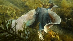 Cuttlefish competition Stock Footage
