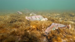 Cuttlefish with squid in background Stock Footage