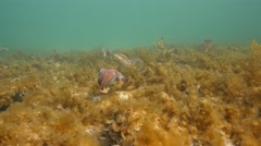 Squid mates with cuttlefish - stock footage