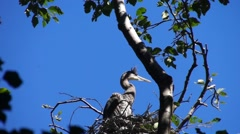 Fledgling Great Blue Herons preen and flap their wings Stock Footage