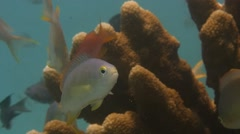 Sea Goldie -  Pseudanthias squamipinnis Stock Footage
