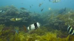 Diverse kelp reef - stock footage
