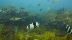 Diverse Temperate Reef in South Australia Stock Footage