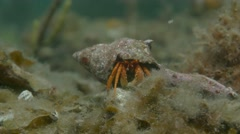 Hermit crab pan out Stock Footage
