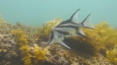 Longshout Boarfish Pentaceropsis recurvirostris Stock Footage