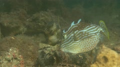 Ornate cowfish feeding Stock Footage