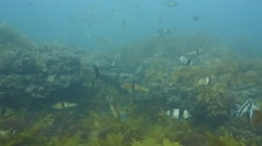Temperate Reef Ecosystem many fish Stock Footage
