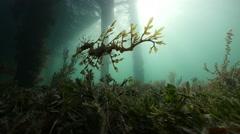 Leafy Seadragon Sillhouette Stock Footage