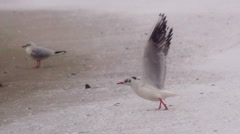 Seagull takes off from a sandy beach in the snowy weather. Slow motion. Stock Footage